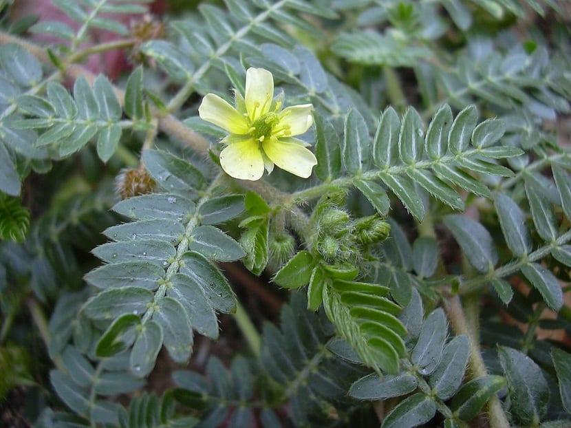 flor amarilla rodeada de hojas con una especie de pelitos