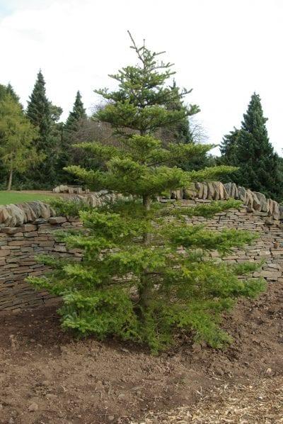 Planta de Abies koreana
