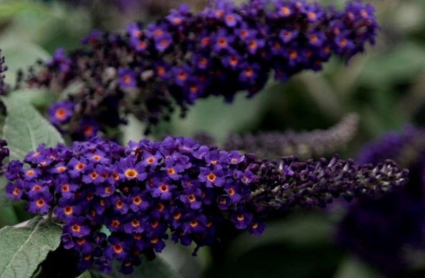 Buddleja davidii flores