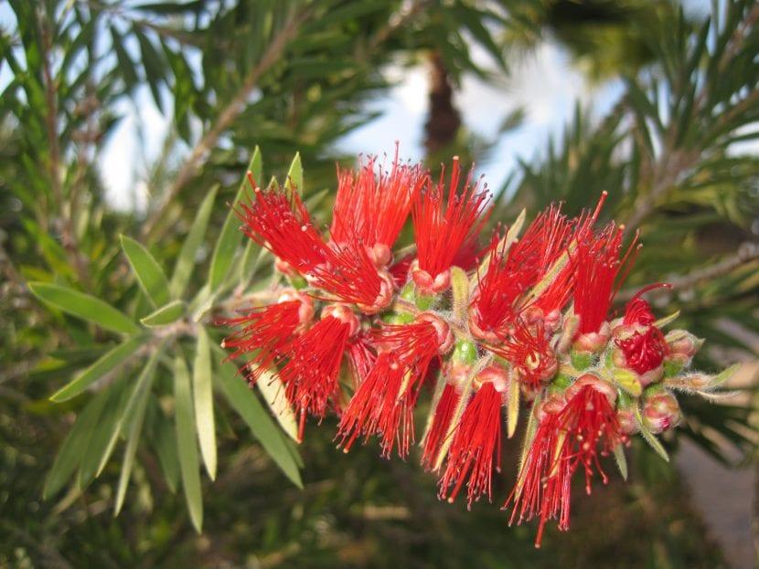 Flor del Callistemon viminalis