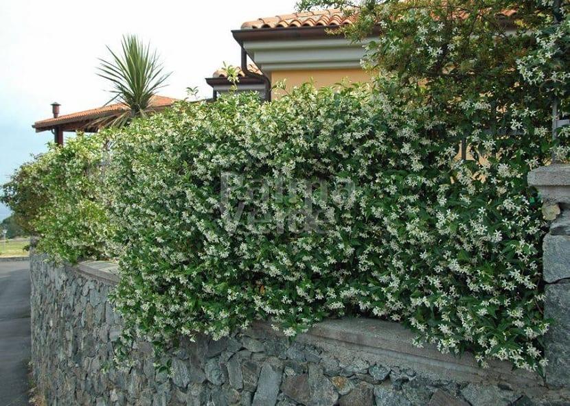 Características del Trachelospermum jasminoides