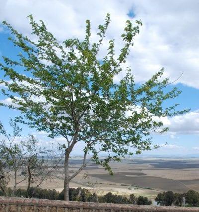 Vista de un arbusto de Carmona