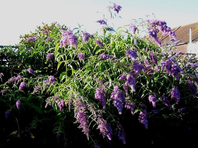 Color de las flores de Buddleja davidii
