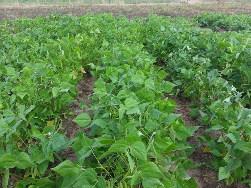 Cultivo de frijoles