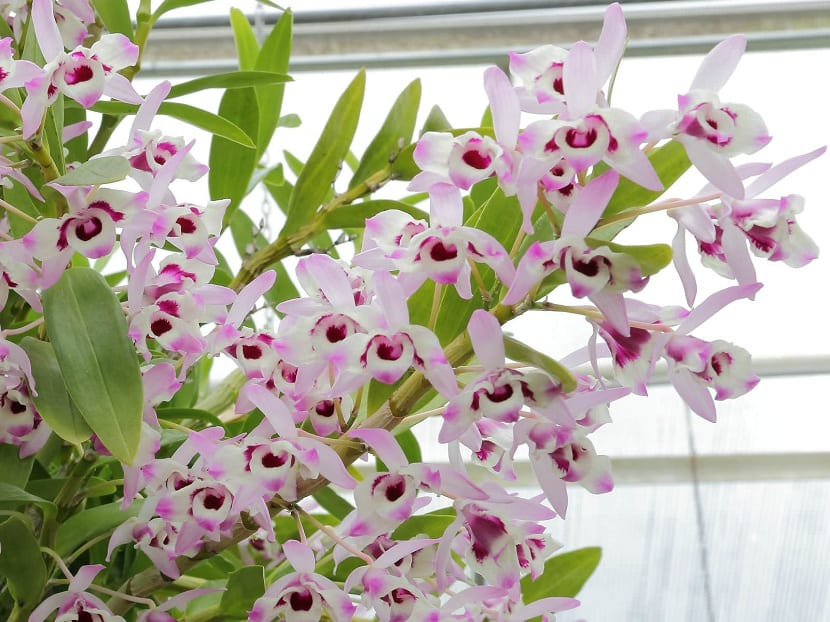Decoracion con Dendrobium nobile