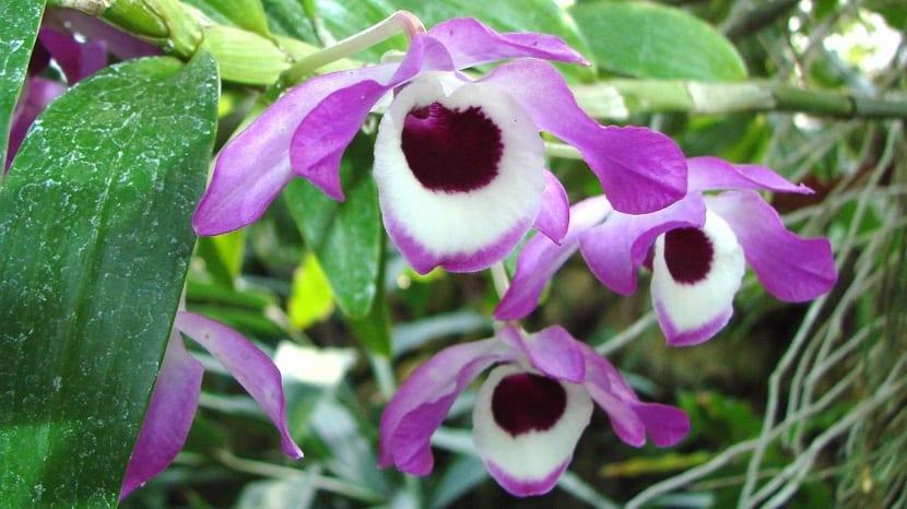 Detalle del Dendrobium nobile