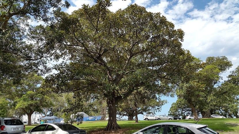 Ficus macrophylla en ciudades