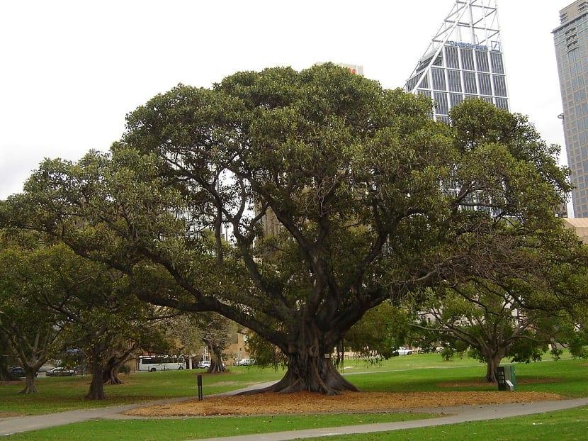 Ficus macrophylla en jardines