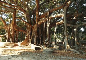 Ficus macrophylla en parques