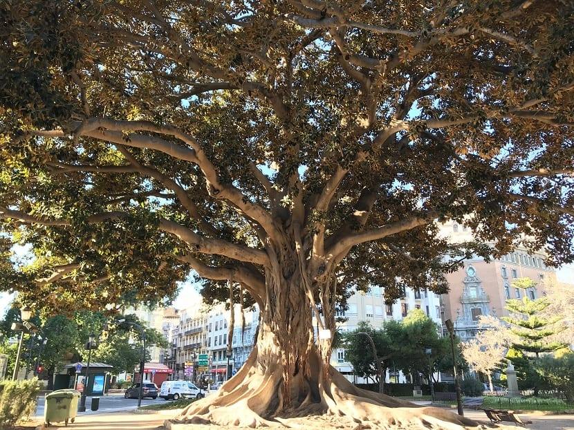 Ficus macrophylla y su crecimiento