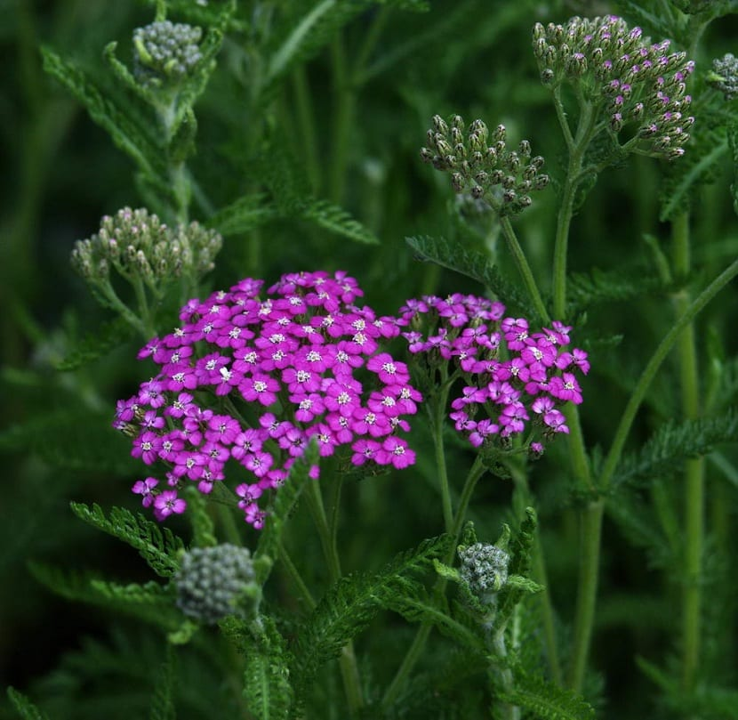 Flores de la aquilea