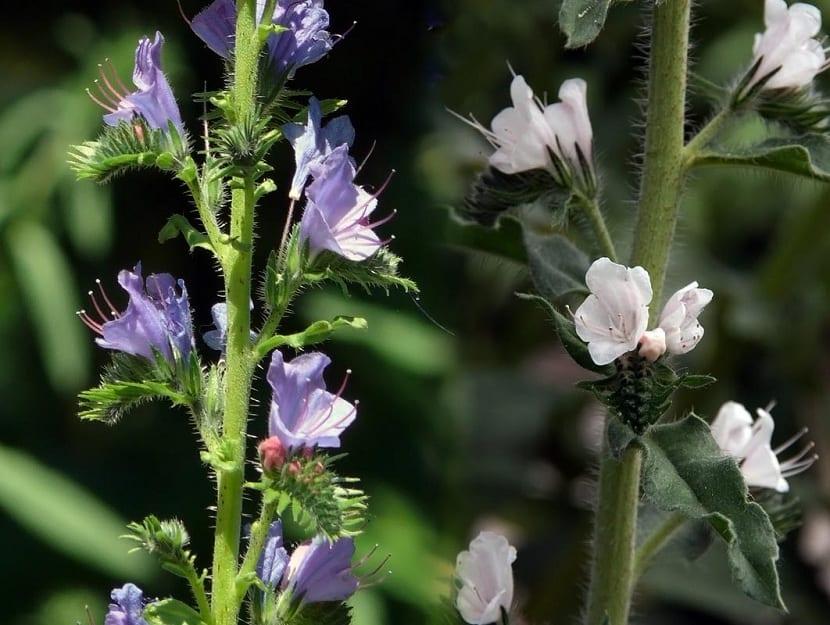 Flores del Echium vulgare