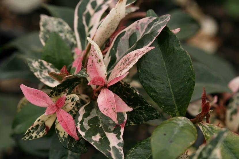 Flores del Trachelospermum jasminoides