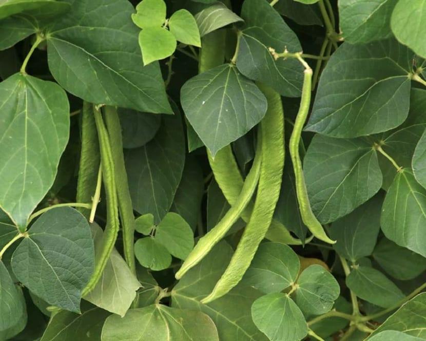 Fruto del Phaseolus vulgaris