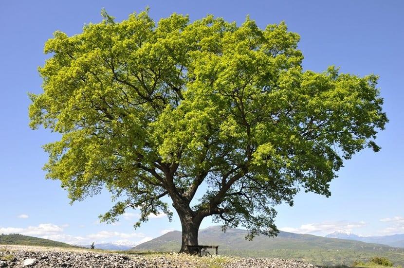 Gran Quercus petraea