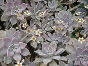 Graptopetalum paraguayense florecida