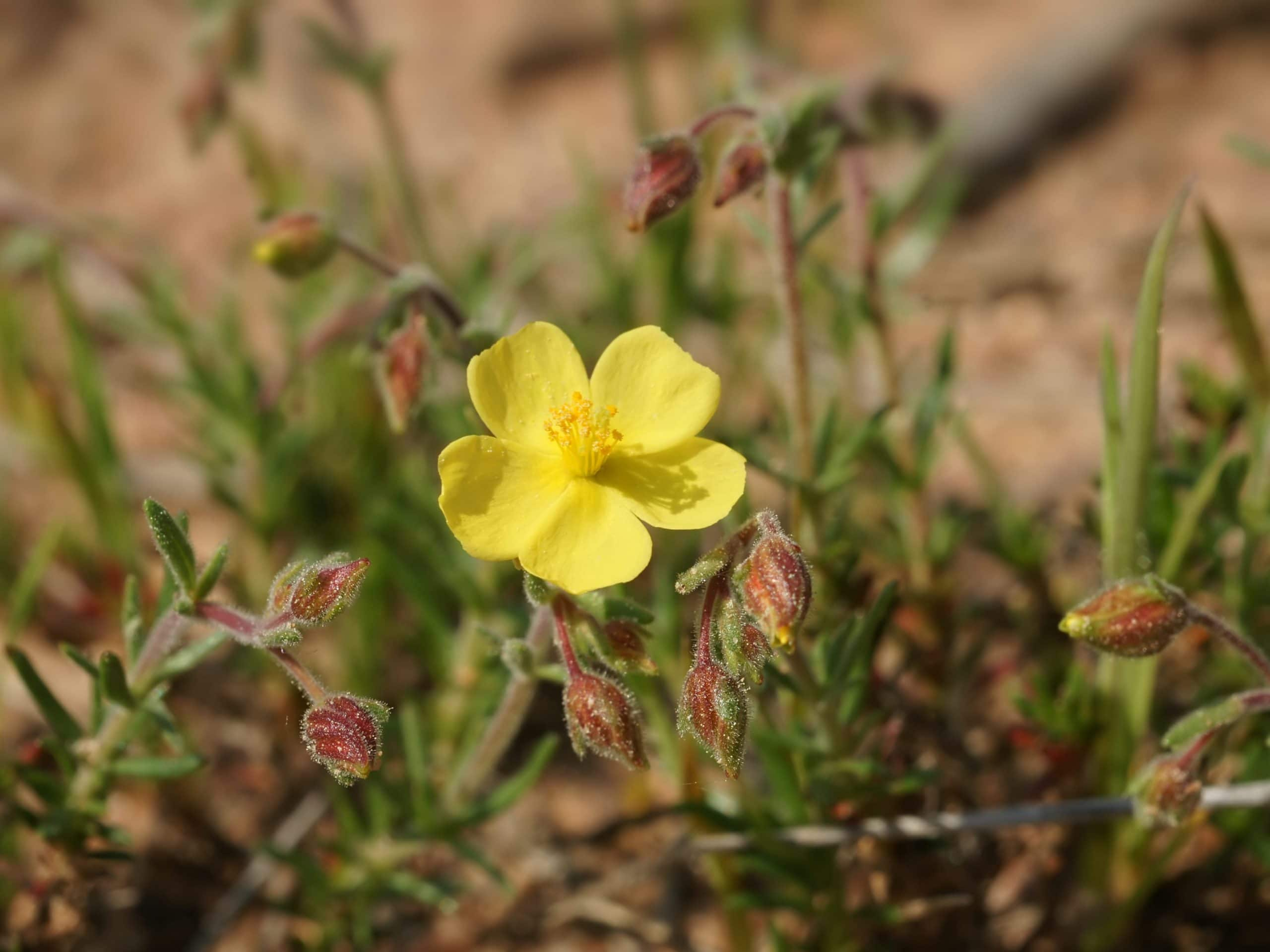 Flor de Helianthemum syriacum