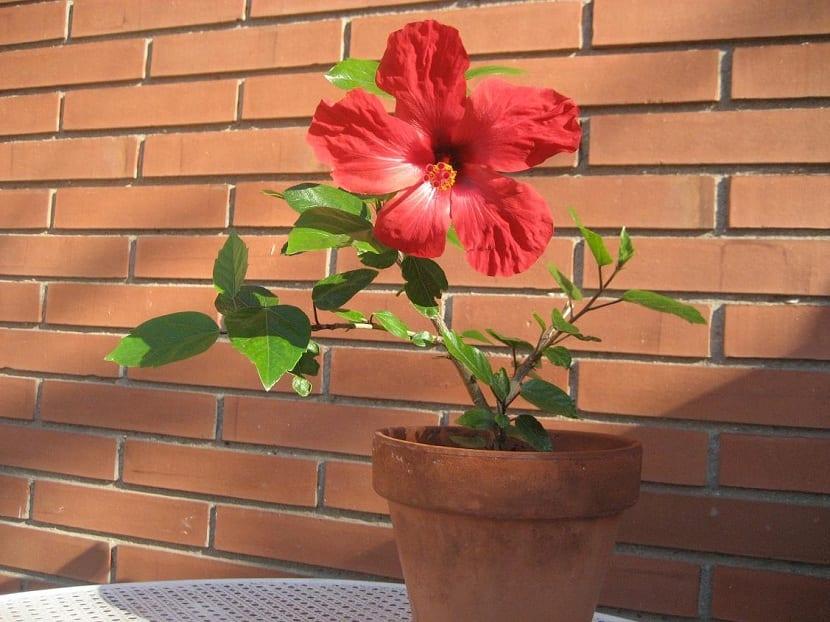 Hibiscus rosa-sinensis en maceta