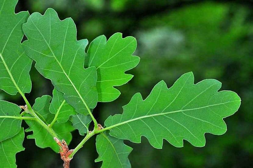 Hojas del Quercus petraea