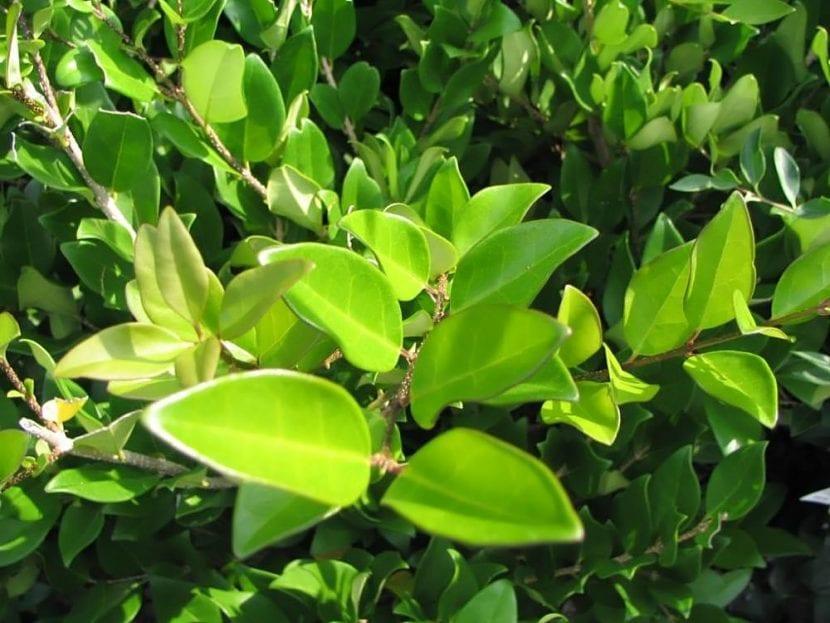 Las hojas del Ligustrum lucidum son grandes y verdes