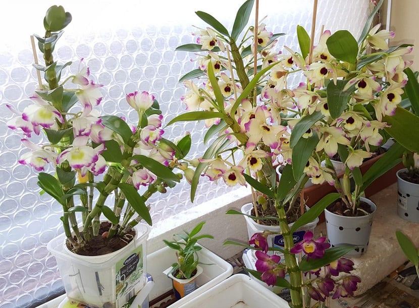 Maceta con Dendrobium nobile
