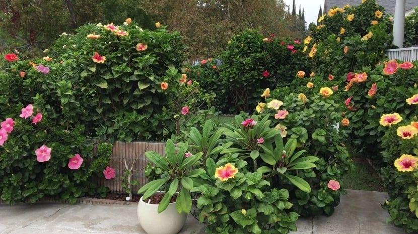 Macetas de Hibiscus rosa-sinensis