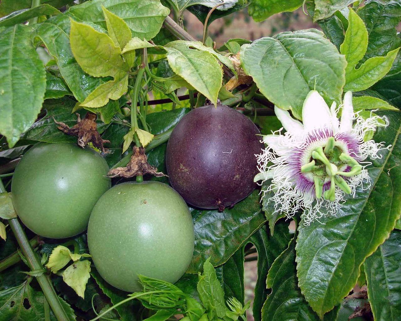 La Passiflora edulis produce frutos comestibles