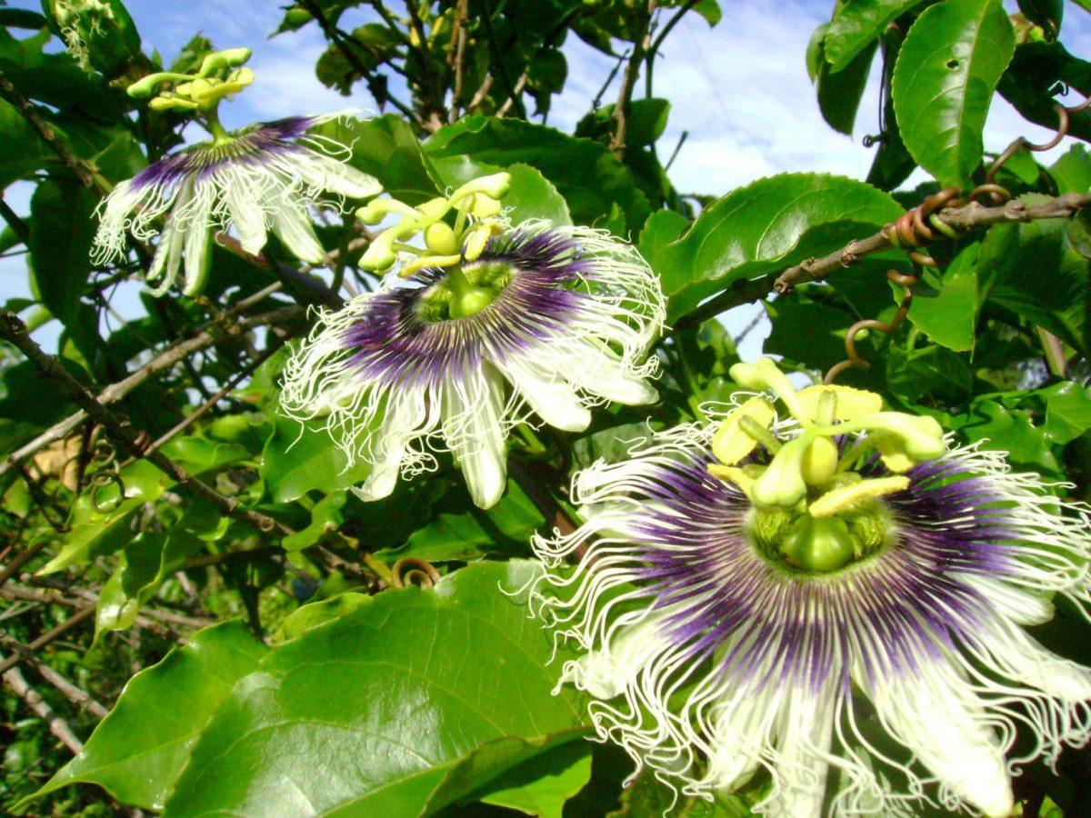 Vista de la planta Passiflora edulis 'Flavicarpa'