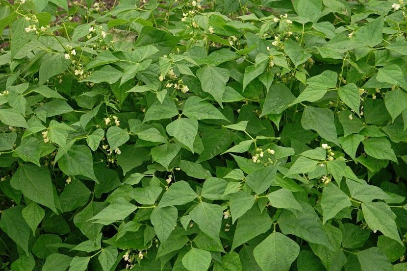 Plantacion de Phaseolus vulgaris