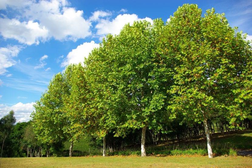 Vista de árboles plataneros