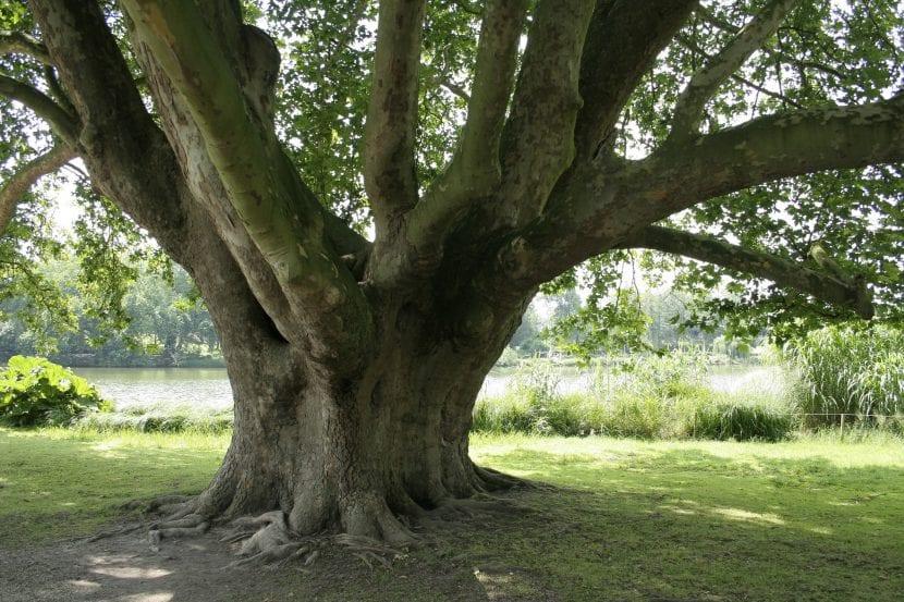 El tronco del Platanus orientalis es grueso