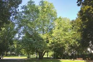 El Platanus x acerifolia es grande