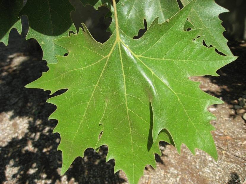 Las hojas del Platanus son grandes