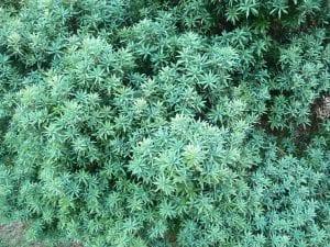 Podocarpus elongatus