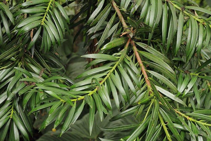 Podocarpus oleifolius