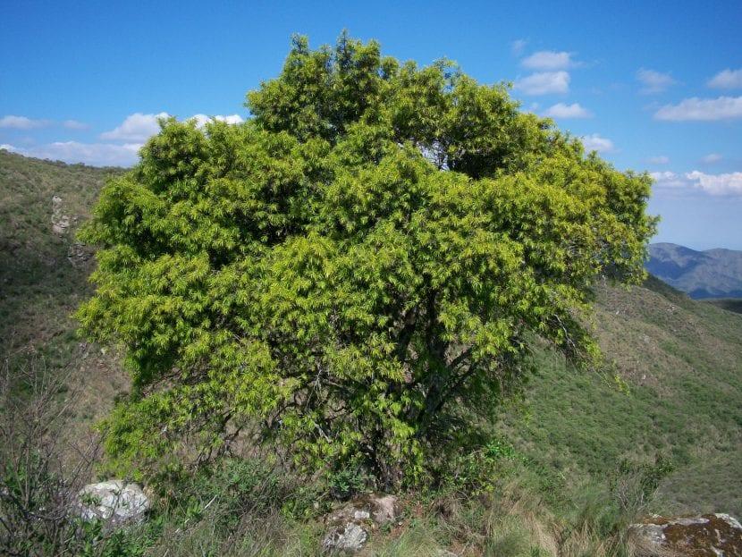 Podocarpus parlatorei
