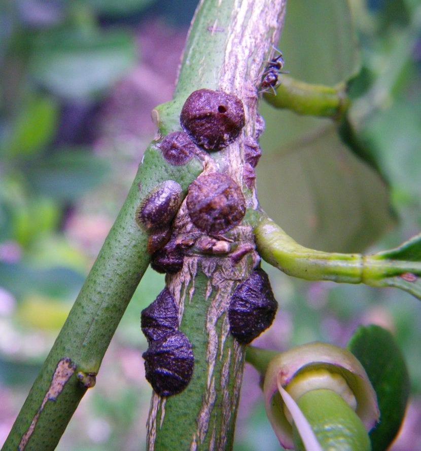 Cochinilla en olivo
