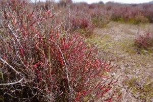 Planta de Sarcocornia fruticosa
