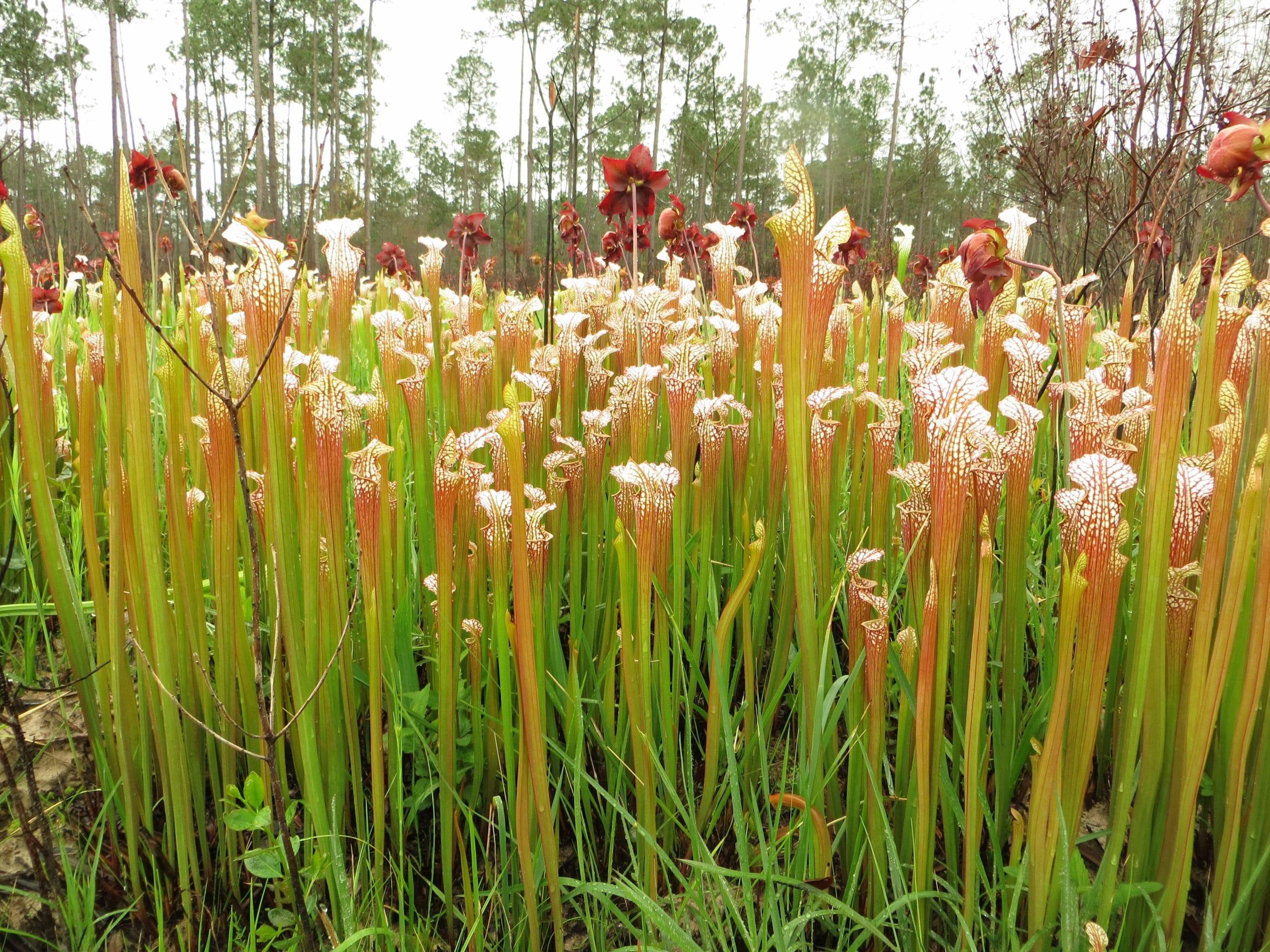 Vista de la Sarracenia leucophylla
