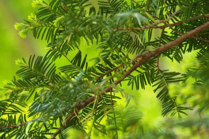 Vista de las hojas del Taxus cuspidata var. cuspidata