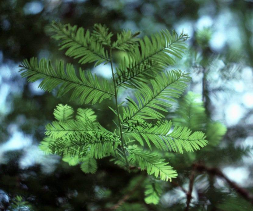 Vista de las hojas del Taxus floridana