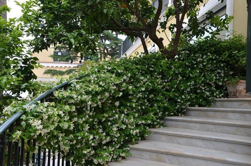 chelospermum jasminoides trepadora