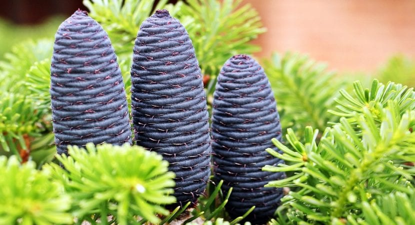 Frutos del Abies koreana