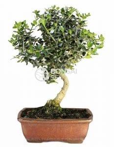 Proyecto de bonsái de acebuche