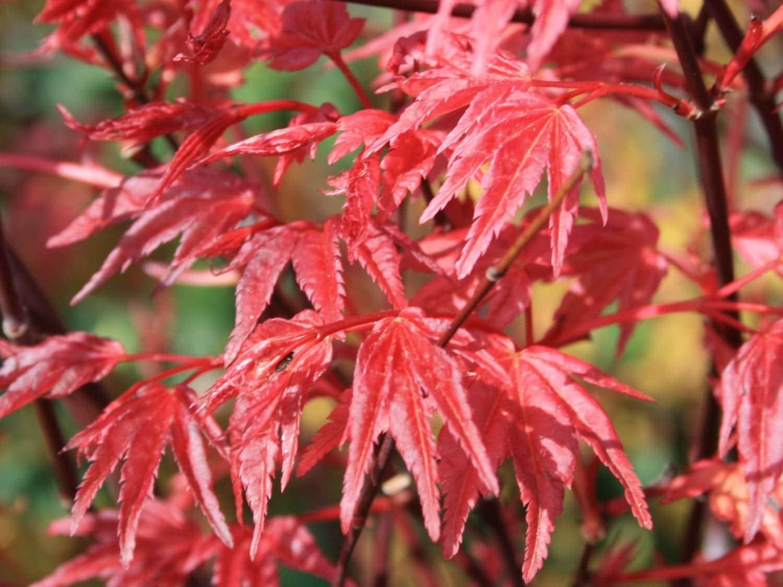 Vista de las hojas del Acer palmatum Deshojo