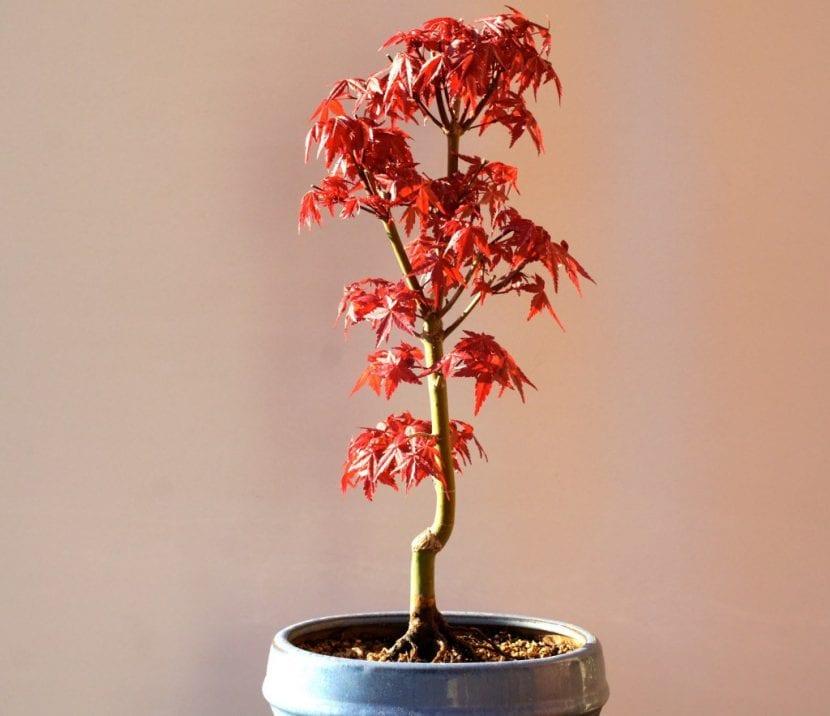 Vista del Acer palmatum 'Deshojo'