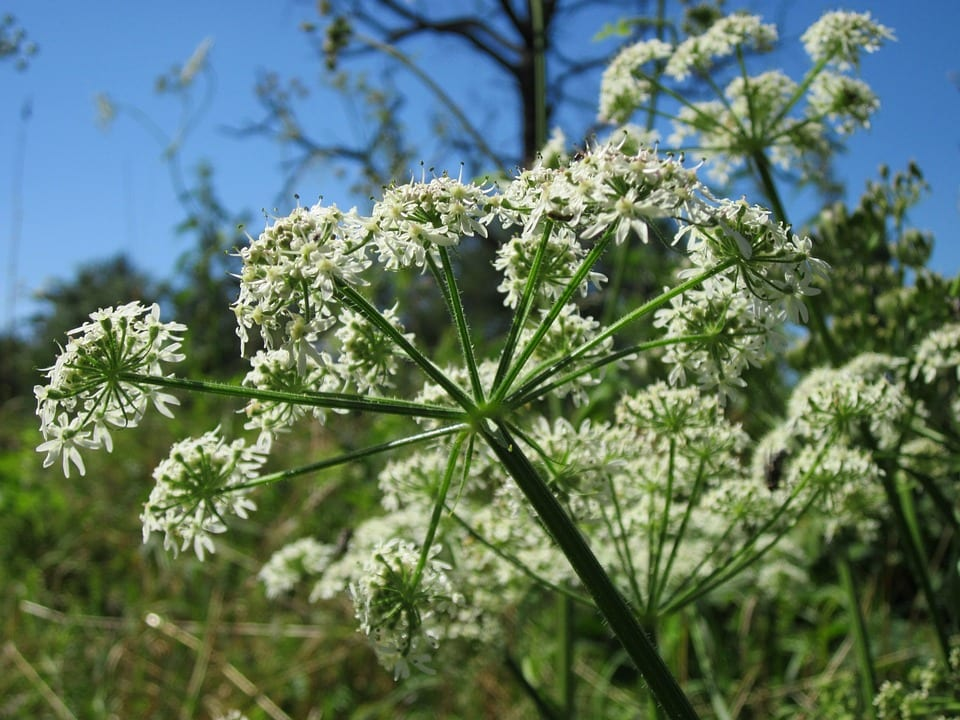 Flores de las Apiaceae
