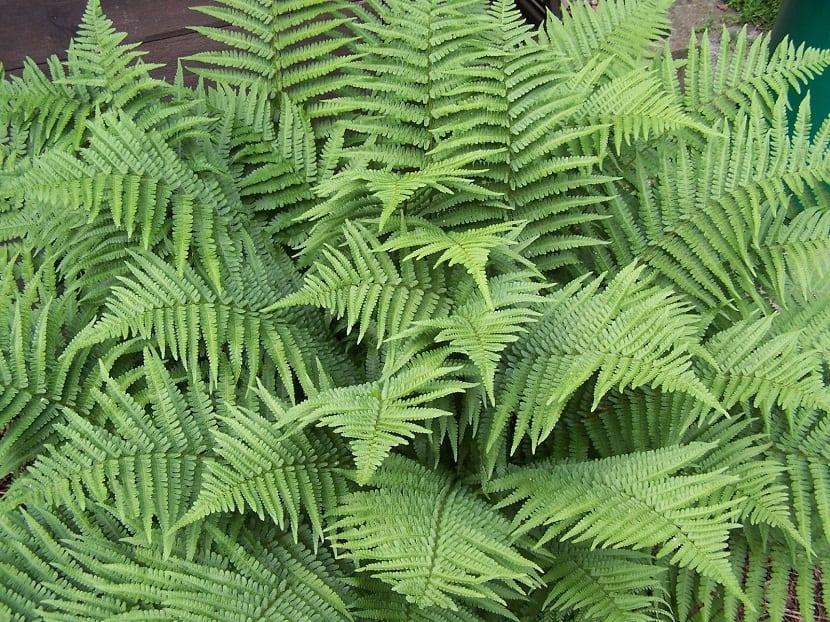 arbusto con grandes hojas verdes llamado helecho