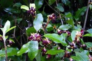 arbusto lleno de flores de color berengena