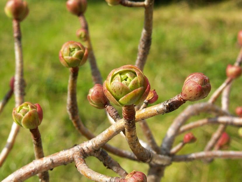 arbusto suculento ramificado llamado Aeonium spathulatum